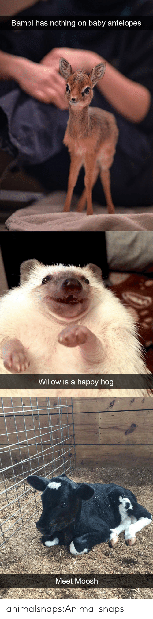 willow: Bambi has nothing on baby antelopes   Willow is a happy hog   Meet Moosh animalsnaps:Animal snaps