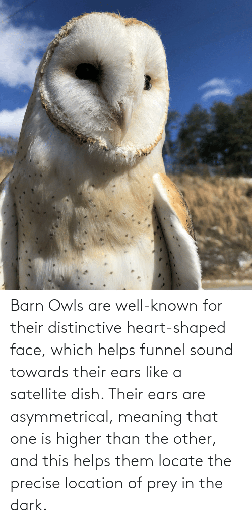 sound: Barn Owls are well-known for their distinctive heart-shaped face, which helps funnel sound towards their ears like a satellite dish. Their ears are asymmetrical, meaning that one is higher than the other, and this helps them locate the precise location of prey in the dark.