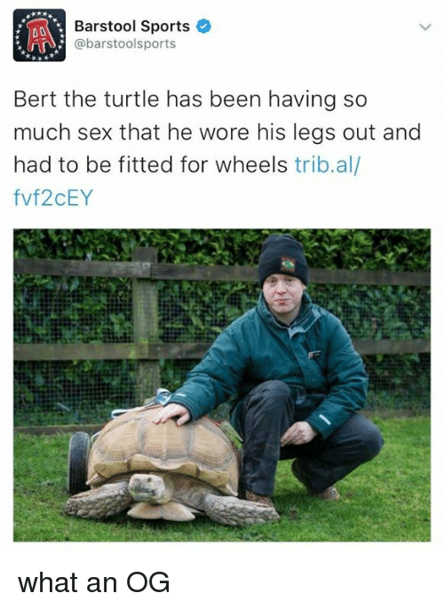 Barstool Sports: Barstool Sports  niA @barstools ports  Bert the turtle has been having so  much sex that he wore his legs out and  had to be fitted for wheels  tribal  fvf2CEY what an OG