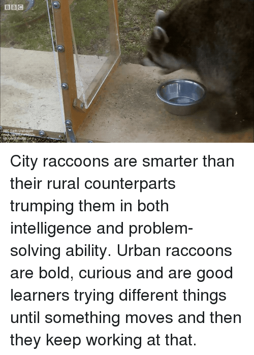 Earth, Good, and Urban: BBC Earth Unplugged  youtu be City raccoons are smarter than their rural counterparts trumping them in both intelligence and problem-solving ability. Urban raccoons are bold, curious and are good learners trying different things until something moves and then they keep working at that.