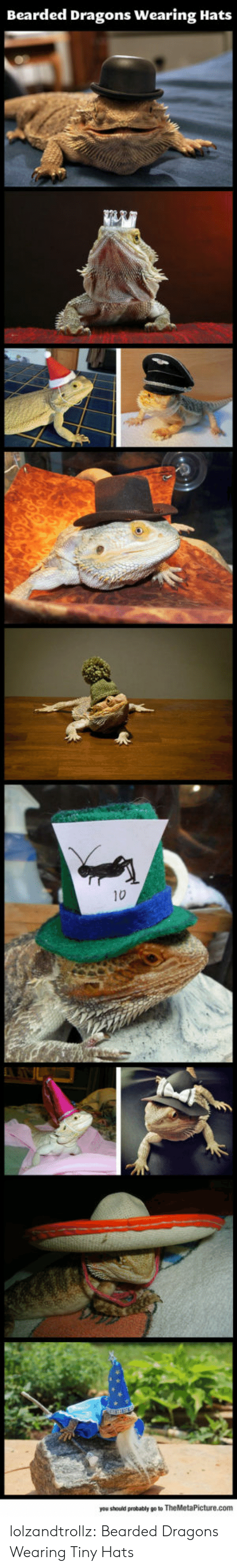 Tumblr, Blog, and Dragons: Bearded Dragons Wearing Hats  10  you should probably go to TheMetaPicture.com lolzandtrollz:  Bearded Dragons Wearing Tiny Hats