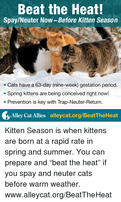 "alley cats: Beat the Heat!  Spay/Neuter Now-Before Kitten Season  Cats have a 63-day (nine-week) gestation period  Spring kittens are being conceived right now!  Prevention is key with Trap-Neuter-Return  Alley Cat Allies  alleycat.org/BeatTheHeat Kitten Season is when kittens are born at a rapid rate in spring and summer. You can prepare and ""beat the heat"" if you spay and neuter cats before warm weather.  www.alleycat.org/BeatTheHeat"