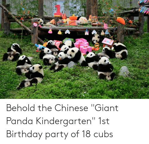 """giant panda: Behold the Chinese """"Giant Panda Kindergarten"""" 1st Birthday party of 18 cubs"""