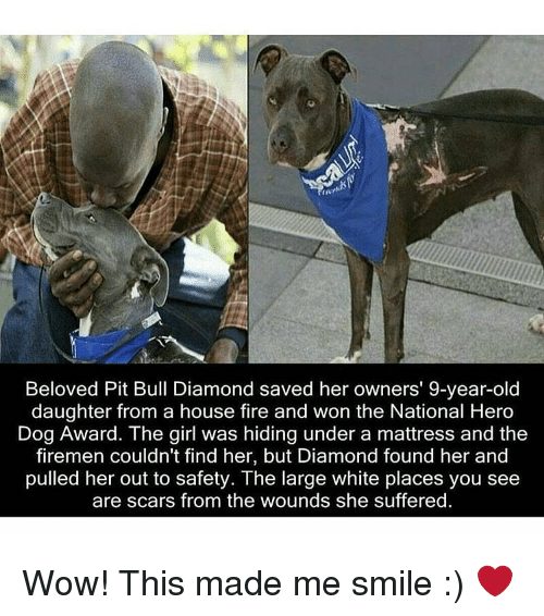 Firemen: Beloved Pit Bull Diamond saved her owners' 9-year-old  daughter from a house fire and won the National Hero  Dog Award. The girl was hiding under a mattress and the  firemen couldn't find her, but Diamond found her and  pulled her out to safety. The large white places you see  are scars from the wounds she suffered. Wow! This made me smile :) ❤