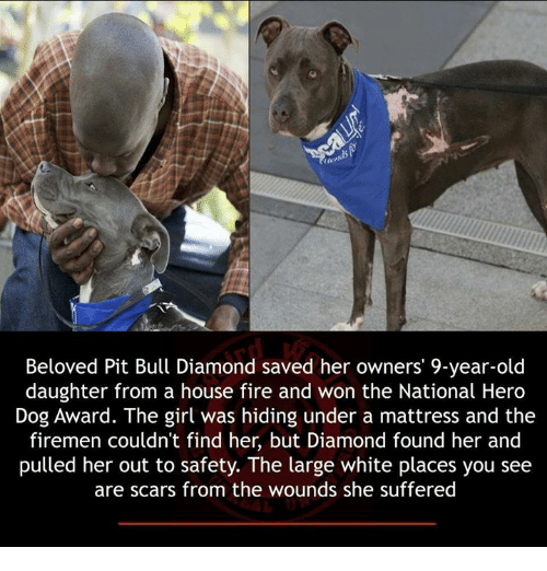 Firemen: Beloved Pit Bull Diamond saved her owners' 9-year-old  daughter from a house fire and won the National Hero  Dog Award. The girl was hiding under a mattress and the  firemen couldn't find her, but Diamond found her and  pulled her out to safety. The large white places you see  are scars from the wounds she suffered