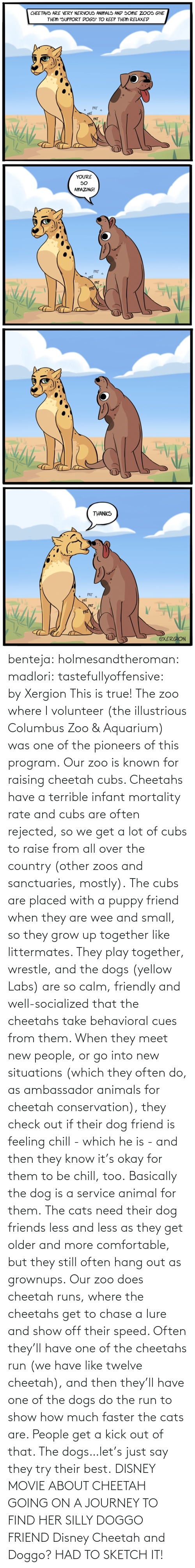 Runs: benteja:  holmesandtheroman:  madlori:  tastefullyoffensive: by Xergion This is true! The zoo where I volunteer (the illustrious Columbus Zoo & Aquarium) was one of the pioneers of this program. Our zoo is known for raising cheetah cubs. Cheetahs have a terrible infant mortality rate and cubs are often rejected, so we get a lot of cubs to raise from all over the country (other zoos and sanctuaries, mostly). The cubs are placed with a puppy friend when they are wee and small, so they grow up together like littermates. They play together, wrestle, and the dogs (yellow Labs) are so calm, friendly and well-socialized that the cheetahs take behavioral cues from them. When they meet new people, or go into new situations (which they often do, as ambassador animals for cheetah conservation), they check out if their dog friend is feeling chill - which he is - and then they know it's okay for them to be chill, too. Basically the dog is a service animal for them. The cats need their dog friends less and less as they get older and more comfortable, but they still often hang out as grownups. Our zoo does cheetah runs, where the cheetahs get to chase a lure and show off their speed. Often they'll have one of the cheetahs run (we have like twelve cheetah), and then they'll have one of the dogs do the run to show how much faster the cats are. People get a kick out of that. The dogs…let's just say they try their best.   DISNEY MOVIE ABOUT CHEETAH GOING ON A JOURNEY TO FIND HER SILLY DOGGO FRIEND  Disney Cheetah and Doggo? HAD TO SKETCH IT!