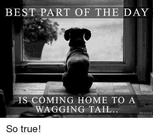 Memes, True, and Best: BEST PART OF THE DAY  IS COMING HOME TO A  WAGGING TAIL  PETDIG So true!