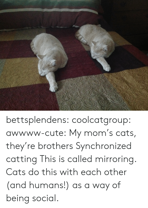 Awwww: bettsplendens:  coolcatgroup:  awwww-cute: My mom's cats, they're brothers  Synchronized catting   This is called mirroring. Cats do this with each other (and humans!) as a way of being social.