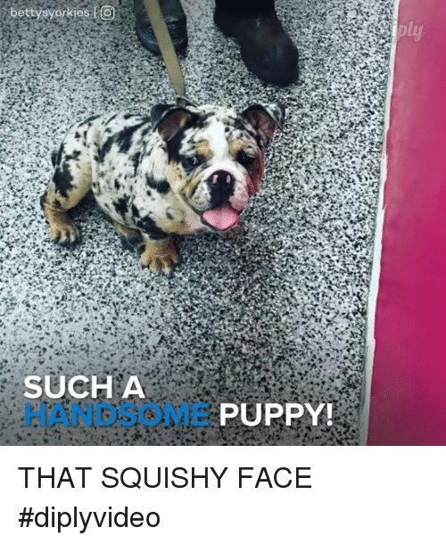 squishies: betty syorkies to  SUCH A  E PUPPY! THAT SQUISHY FACE  #diplyvideo