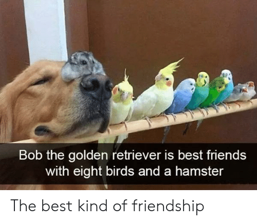 Friends, Best, and Birds: Bob the golden retriever is best friends  with eight birds and a hamster The best kind of friendship