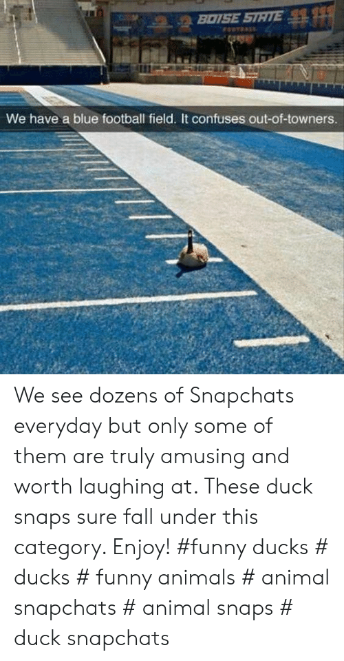 Funny Ducks: BOISE STATE  FORTDALE  We have a blue football field. It confuses out-of-towners. We see dozens of Snapchats everyday but only some of them are truly amusing and worth laughing at. These duck snaps sure fall under this category. Enjoy! #funny ducks # ducks # funny animals # animal snapchats # animal snaps # duck snapchats
