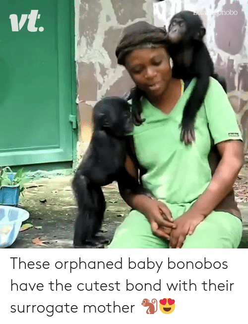 bola: Bola bonob0  vt. These orphaned baby bonobos have the cutest bond with their surrogate mother 🐒😍