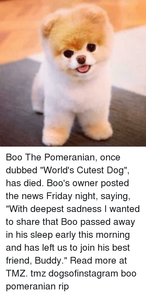 """Best Friend, Boo, and Friday: Boo The Pomeranian, once dubbed """"World's Cutest Dog"""", has died. Boo's owner posted the news Friday night, saying, """"With deepest sadness I wanted to share that Boo passed away in his sleep early this morning and has left us to join his best friend, Buddy."""" Read more at TMZ. tmz dogsofinstagram boo pomeranian rip"""