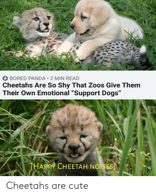 """Bored, Cute, and Dogs: BORED PANDA 2 MIN READ  Cheetahs Are So Shy That Zoos Give Them  Their Own Emotional """"Support Dogs""""  THAPPY CHEETAH NOISES] Cheetahs are cute"""