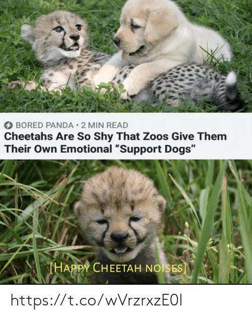"""Bored, Dogs, and Memes: BORED PANDA 2 MIN READ  Cheetahs Are So Shy That Zoos Give Them  Their Own Emotional """"Support Dogs""""  THAPPY CHEETAH NOISES] https://t.co/wVrzrxzE0l"""