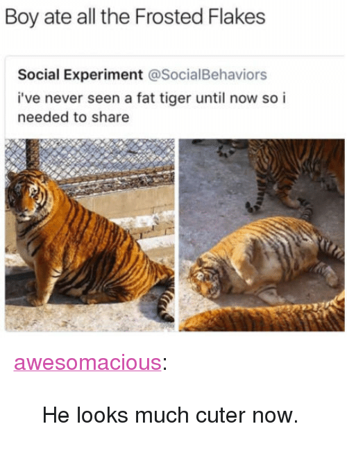 "frosted flakes: Boy ate all the Frosted Flakes  Social Experiment @SocialBehaviors  i've never seen a fat tiger until now so i  needed to share <p><a href=""http://awesomacious.tumblr.com/post/170957468116/he-looks-much-cuter-now"" class=""tumblr_blog"">awesomacious</a>:</p>  <blockquote><p>He looks much cuter now.</p></blockquote>"
