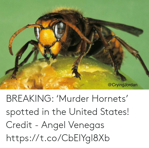 breaking: BREAKING: 'Murder Hornets' spotted in the United States!  Credit - Angel Venegas https://t.co/CbEIYgl8Xb