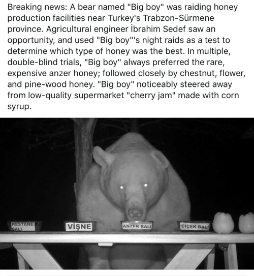 "News, Saw, and Bali: Breaking news: A bear named ""Big boy"" was raiding honey  production facilities near Turkey's Trabzon-Sürmene  province. Agricultural engineer ibrahim Sedef saw an  opportunity, and used ""Big boy""'s night raids as a test to  determine which type of honey was the best. In multiple,  double-blind trials, ""Big boy"" always preferred the rare,  expensive anzer honey; followed closely by chestnut, flower,  and pine-wood honey. ""Big boy"" noticeably steered away  from low-quality supermarket ""cherry jam"" made with corn  syrup.  KESTANE  BALI  VISNE  ciCEK BAL  ANZER BALI"