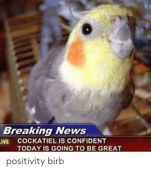 birb: Breaking News  .IVE COCKATIEL IS CONFIDENT  TODAY IS GOING TO BE GREAT positivity birb