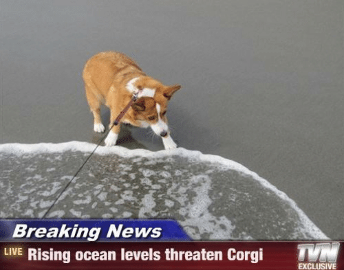 Corgi, News, and Breaking News: Breaking News  LIVE Rising ocean levels threaten Corgi  T  EXCLUSIVE