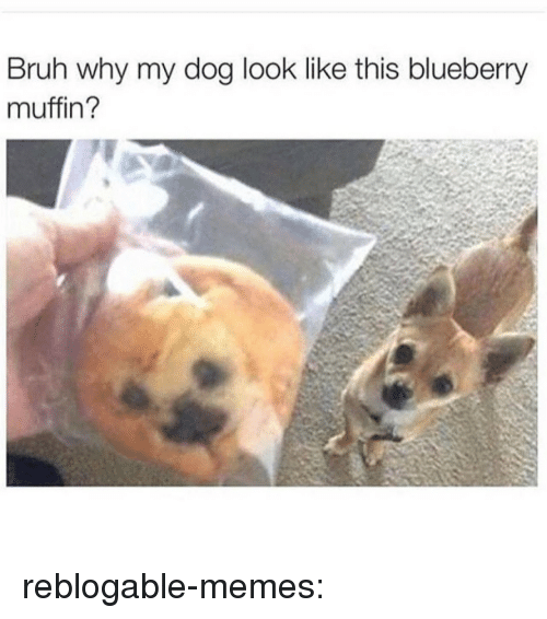 Muffin: Bruh why my dog look like this blueberry  muffin? reblogable-memes: