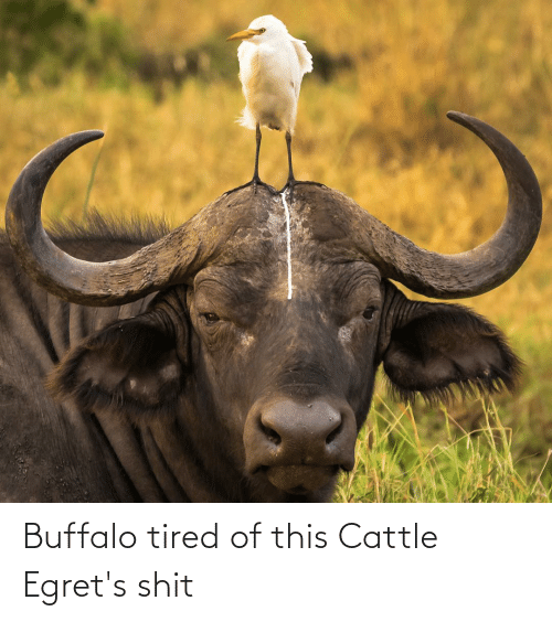 Buffalo: Buffalo tired of this Cattle Egret's shit