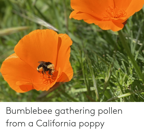 gathering: Bumblebee gathering pollen from a California poppy