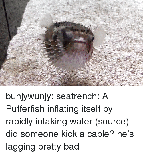 Bad, Target, and Tumblr: bunjywunjy: seatrench:  A Pufferfish inflating itself by rapidly intaking water (source)  did someone kick a cable? he's lagging pretty bad