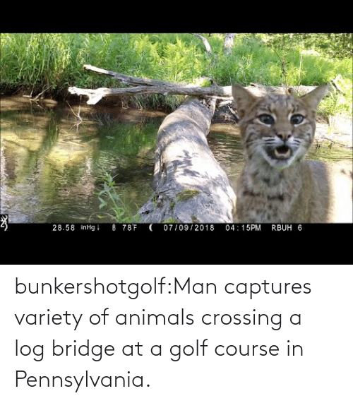 Golf Course: bunkershotgolf:Man captures variety of animals crossing a log bridge at a golf course in Pennsylvania.