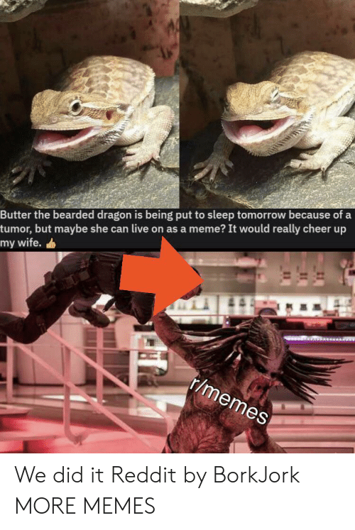 Bearded: Butter the bearded dragon is being put to sleep tomorrow because of a  tumor, but maybe she can live on as a meme? It would really cheer up  my wife.  r/memes We did it Reddit by BorkJork MORE MEMES