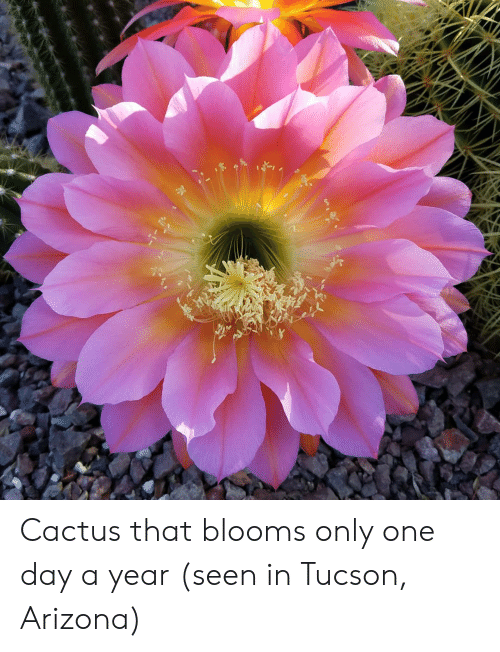 tucson arizona: Cactus that blooms only one day a year (seen in Tucson, Arizona)