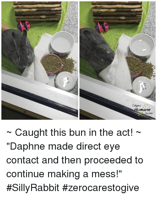 "Memes, 🤖, and Eye: Calgary  mane  e Society ~ Caught this bun in the act! ~  ""Daphne made direct eye contact and then proceeded to continue making a mess!""    #SillyRabbit #zerocarestogive"