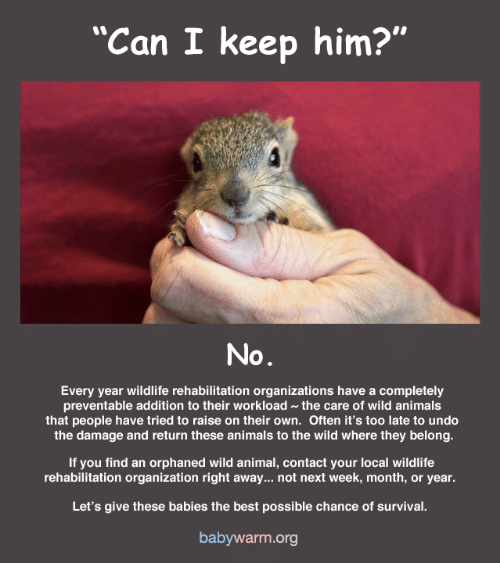 "Animals, Memes, and Animal: ""Can I keep him?""  No  Every year wildlife rehabilitation organizations have a completely  preventable addition to their workload~the care of wild animals  that people have tried to raise on their own. Often it's too late to undo  the damage and return these animals to the wild where they belong.  If you find an orphaned wild animal, contact your local wildlife  rehabilitation organization right away... not next week, month, or year.  Let's give these babies the best possible chance of survival  babywarm.org"