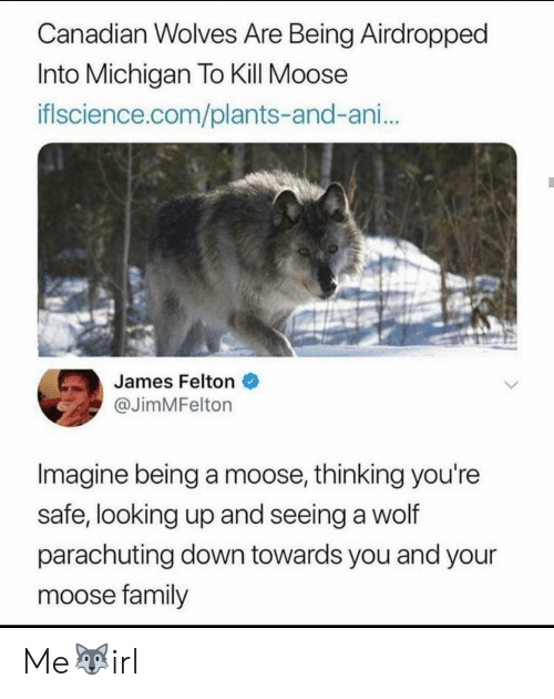 Family, Michigan, and Wolf: Canadian Wolves Are Being Airdropped  Into Michigan To Kill Moose  iflscience.com/plants-and-ani..  James Felton  @JimMFelton  Imagine being a moose, thinking you're  safe, looking up and seeing a wolf  parachuting down towards you and your  moose family Me🐺irl