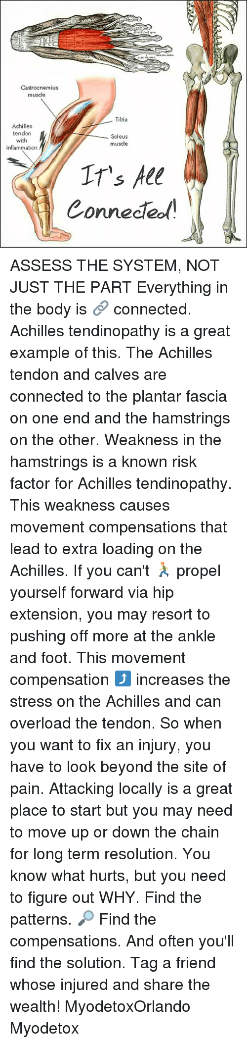 assess: Castrocnemius  musde  Tibia  Achilles  tendon  Soleus  with  muscle  inflammation  IT's All  Connected ASSESS THE SYSTEM, NOT JUST THE PART Everything in the body is 🔗 connected. Achilles tendinopathy is a great example of this. The Achilles tendon and calves are connected to the plantar fascia on one end and the hamstrings on the other. Weakness in the hamstrings is a known risk factor for Achilles tendinopathy. This weakness causes movement compensations that lead to extra loading on the Achilles. If you can't 🏃 propel yourself forward via hip extension, you may resort to pushing off more at the ankle and foot. This movement compensation ⤴ increases the stress on the Achilles and can overload the tendon. So when you want to fix an injury, you have to look beyond the site of pain. Attacking locally is a great place to start but you may need to move up or down the chain for long term resolution. You know what hurts, but you need to figure out WHY. Find the patterns. 🔎 Find the compensations. And often you'll find the solution. Tag a friend whose injured and share the wealth! MyodetoxOrlando Myodetox