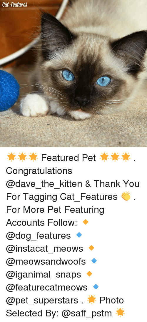 congratulating: Cat features 🌟🌟🌟 Featured Pet 🌟🌟🌟 . Congratulations @dave_the_kitten & Thank You For Tagging Cat_Features 👏 . For More Pet Featuring Accounts Follow: 🔸 @dog_features 🔹 @instacat_meows 🔸 @meowsandwoofs 🔹 @iganimal_snaps 🔸 @featurecatmeows 🔹 @pet_superstars . 🌟 Photo Selected By: @saff_pstm 🌟