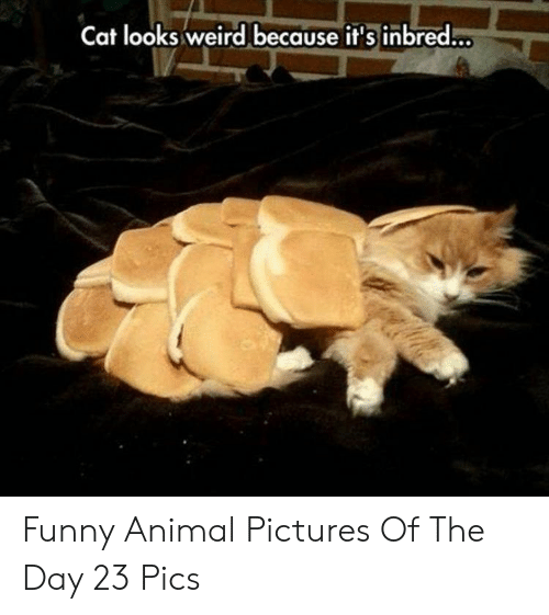 animal pictures: Cat looks weird because it's inbred... Funny Animal Pictures Of The Day 23 Pics