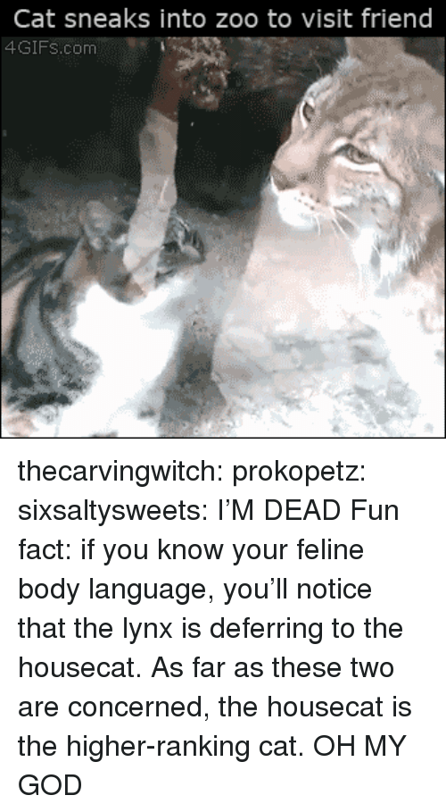 im dead: Cat sneaks into zoo to visit friend  4GIFs.com thecarvingwitch:  prokopetz:  sixsaltysweets:  I'M DEAD  Fun fact: if you know your feline body language, you'll notice that the lynx is deferring to the housecat. As far as these two are concerned, the housecat is the higher-ranking cat.  OH MY GOD