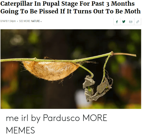 Dank, Memes, and Target: Caterpillar In Pupal Stage For Past 3 Months  Going To Be Pissed If It Turns Out To Be Moth  8/14/18 1:34pm SEE MORE: NATURE me irl by Pardusco MORE MEMES