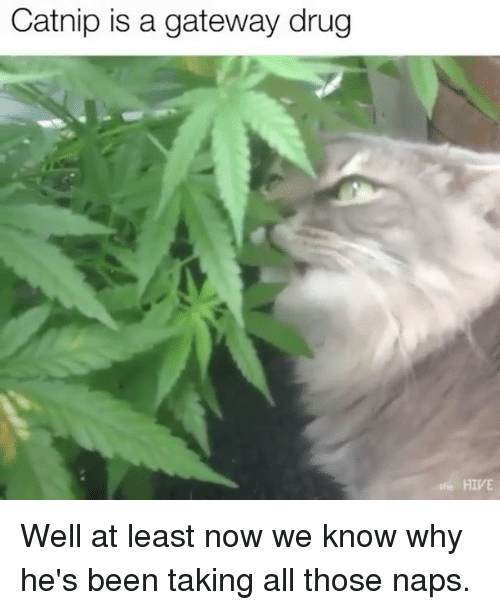hives: Catnip is a gateway drug  HIVE Well at least now we know why he's been taking all those naps.