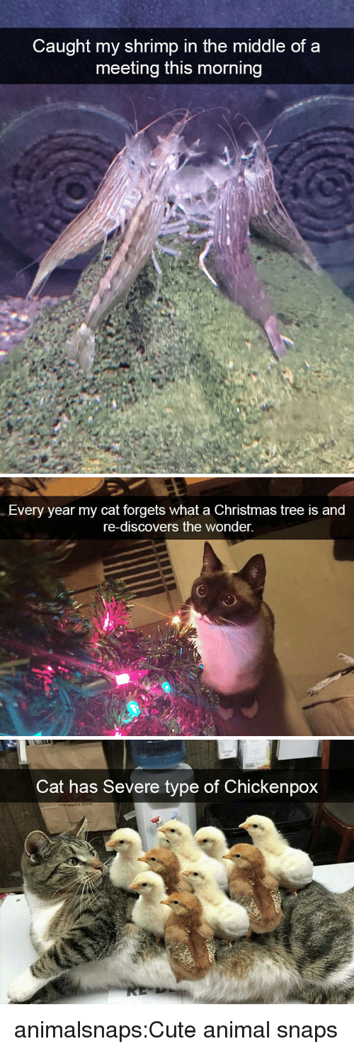 Christmas, Cute, and Target: Caught my shrimp in the middle of a  meeting this morning   Every year my cat forgets what a Christmas tree is and  re-discovers the wonder.   Cat has Severe type of Chickenpox animalsnaps:Cute animal snaps