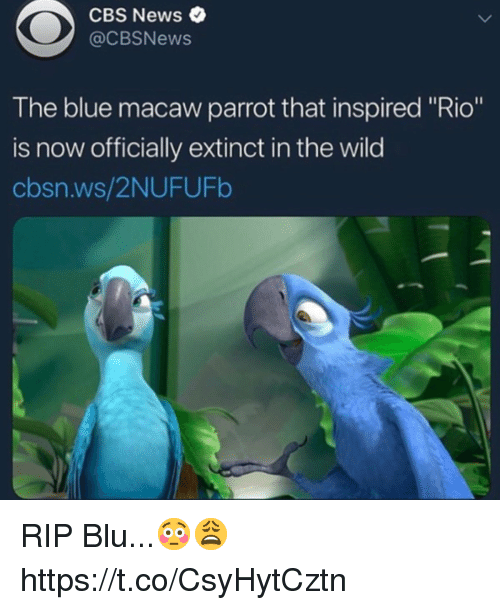 "News, Cbs, and Blue: CBS News  @CBSNews  The blue macaw parrot that inspired ""Rio""  is now officially extinct in the wild  cbsn.ws/2NUFUFb RIP Blu...😳😩 https://t.co/CsyHytCztn"