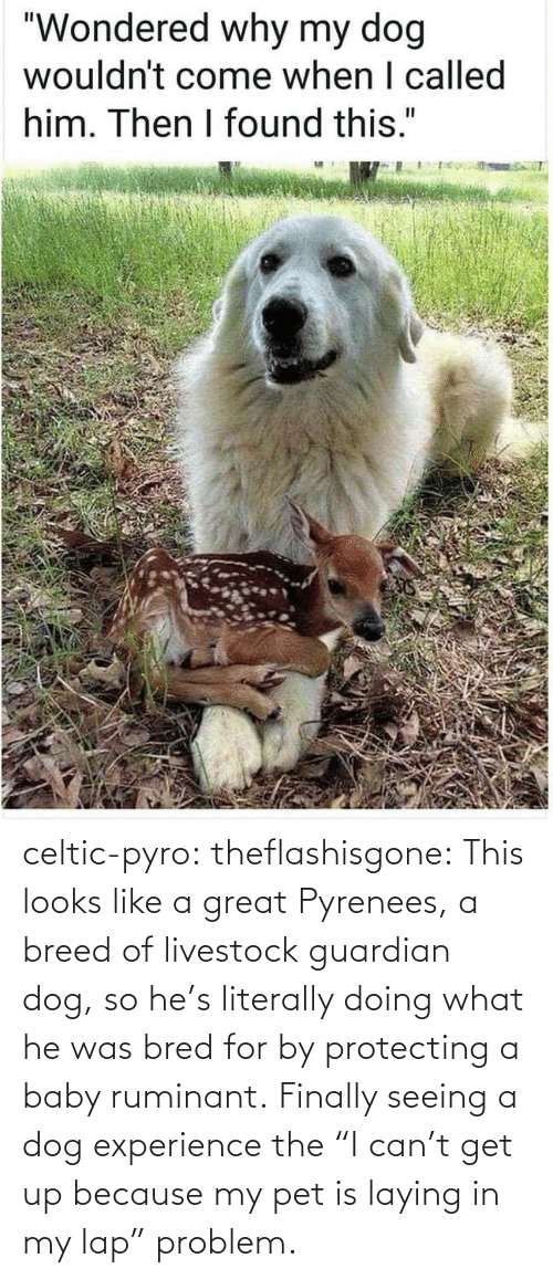 "Guardian: celtic-pyro:  theflashisgone: This looks like a great Pyrenees, a breed of livestock guardian dog, so he's literally doing what he was bred for by protecting a baby ruminant. Finally seeing a dog experience the ""I can't get up because my pet is laying in my lap"" problem."