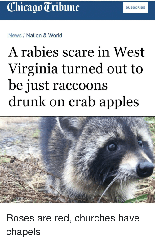 raccoons: Chicago Tribune  SUBSCRIBE  News/Nation & World  A rabies scare in West  Virginia turned out to  be iust raccoons  drunk on crab apples Roses are red, churches have chapels,