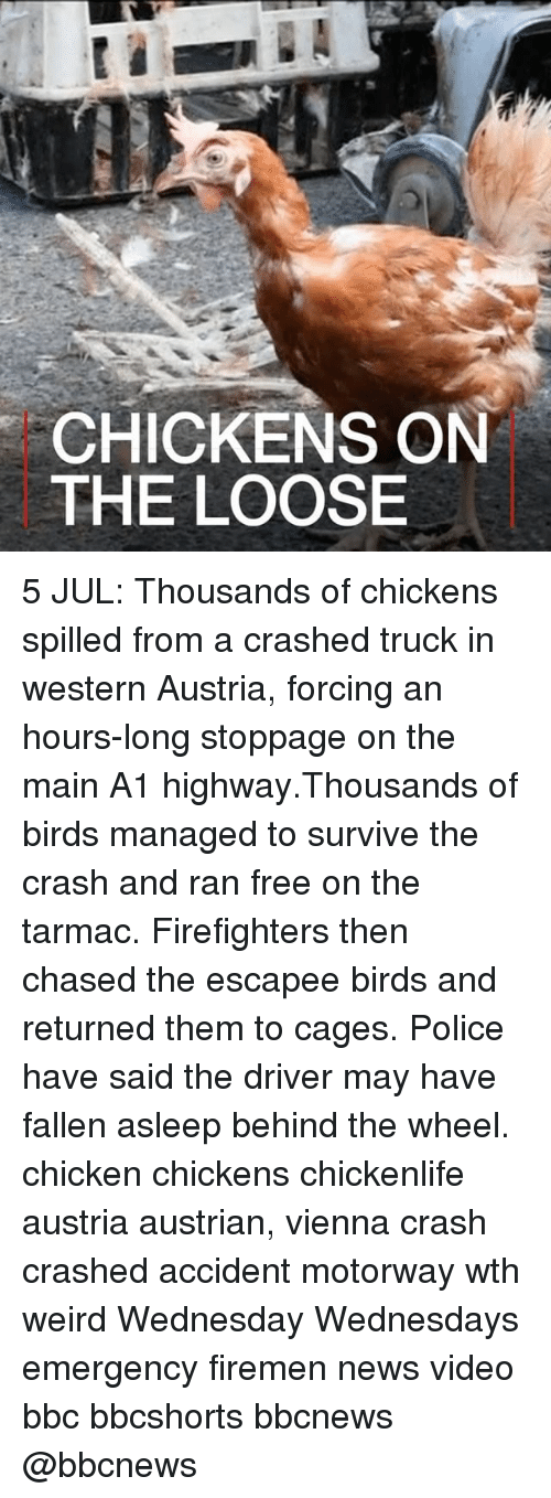 Firemen: CHICKENS ON  THE LOOSE 5 JUL: Thousands of chickens spilled from a crashed truck in western Austria, forcing an hours-long stoppage on the main A1 highway.Thousands of birds managed to survive the crash and ran free on the tarmac. Firefighters then chased the escapee birds and returned them to cages. Police have said the driver may have fallen asleep behind the wheel. chicken chickens chickenlife austria austrian, vienna crash crashed accident motorway wth weird Wednesday Wednesdays emergency firemen news video bbc bbcshorts bbcnews @bbcnews