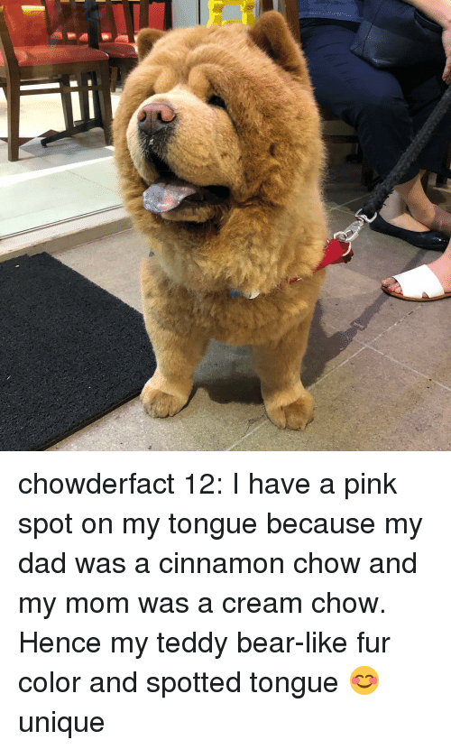 Dad, Memes, and Bear: chowderfact 12: I have a pink spot on my tongue because my dad was a cinnamon chow and my mom was a cream chow. Hence my teddy bear-like fur color and spotted tongue 😊 unique