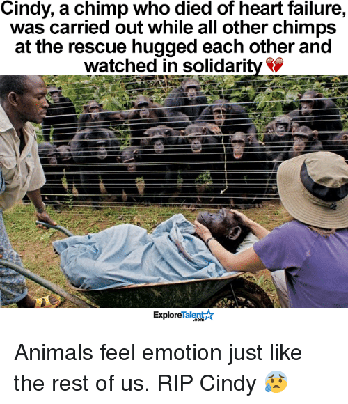 Memes, Failure, and 🤖: Cindy, a chimp who died of heart failure,  was carried out while all other chimps  at the rescue hugged each other and  watched in Solidarity  Talent A  Explore Animals feel emotion just like the rest of us.  RIP Cindy 😰