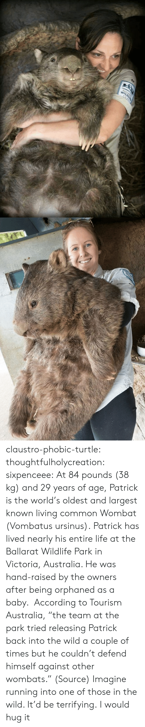 "Life, Tumblr, and Australia: claustro-phobic-turtle:  thoughtfulholycreation:  sixpenceee:   At 84 pounds (38 kg) and 29 years of age, Patrick is the world's oldest and largest known living common Wombat (Vombatus ursinus). Patrick has lived nearly his entire life at the Ballarat Wildlife Park in Victoria, Australia. He was hand-raised by the owners after being orphaned as a baby.  According to Tourism Australia, ""the team at the park tried releasing Patrick back into the wild a couple of times but he couldn't defend himself against other wombats."" (Source)   Imagine running into one of those in the wild. It'd be terrifying.   I would hug it"