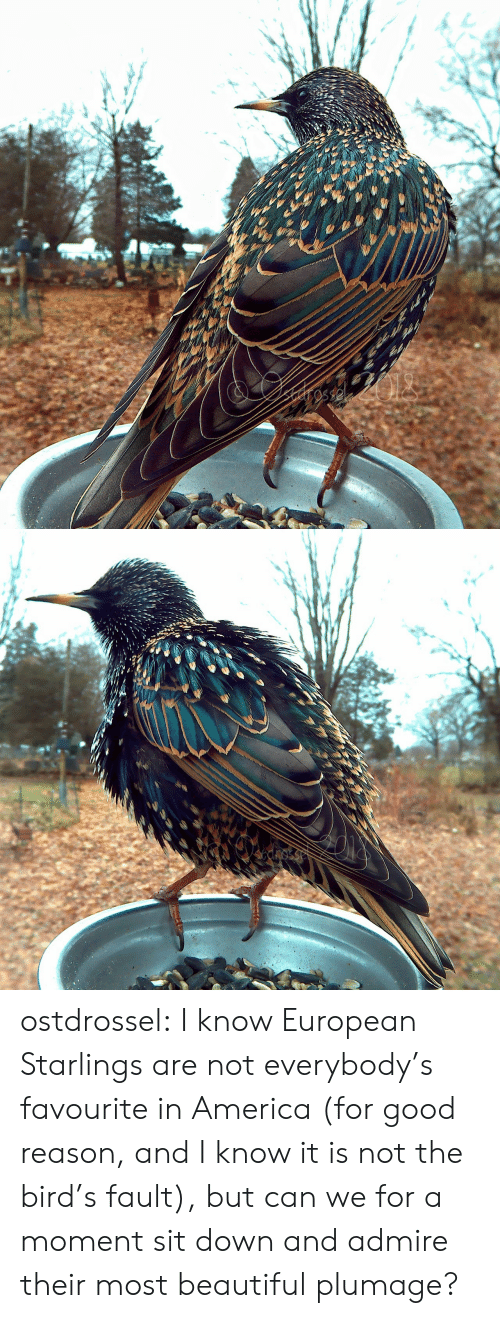 Good Reason: cnosse ostdrossel:  I know European Starlings are not everybody's favourite in America (for good reason, and I know it is not the bird's fault), but can we for a moment sit down and admire their most beautiful plumage?