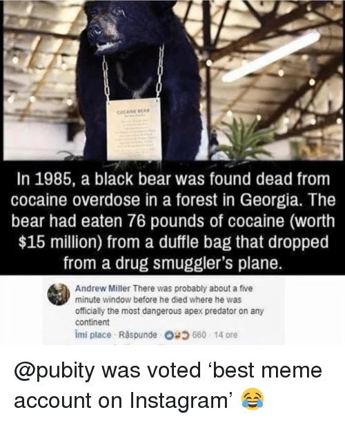 Instagram, Meme, and Memes: COCAINE BEA  In 1985, a black bear was found dead from  cocaine overdose in a forest in Georgia. The  bear had eaten 76 pounds of cocaine (worth  $15 million) from a duffle bag that dropped  from a drug smuggler's plane.  Andrew Miller There was probably about a five  minute window before he died where he was  officially the most dangerous apex predator on any  continent  imi place Răspunde O; 660 14 ore @pubity was voted 'best meme account on Instagram' 😂